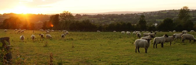 Sheep at sunset in Ireland